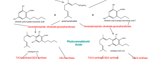 phytocannabinoids and Terpenoids share similar synthetic pathways and work cooperatively in the endocannabinoid system. Ethan Russo's excellent review on the topic.