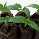 The Cannabis Pan-Genome Project: Advancing Cannabis Breeding
